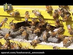 بکارگیری دو ملکه در هر کلنی زنبور عسل-اسلاید