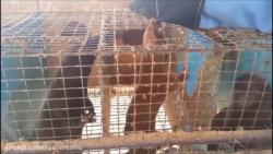 کشتن 900 موش بیچاره با سگ و راسوهای وحشی ترسناک با کیفیت بلوری FULL BLU-RAY HD