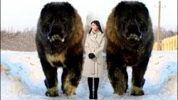 10 سگ غیرعادی بزرگ در سرتاسر جهان!