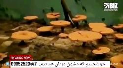 دست آوری عظیم در طب سنتی اسلامی ایران عزیز تولید قارچ دارویی