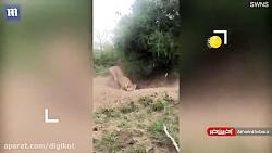 گرازی که شکار شیر شد