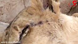 سوءتغذیه شیرهای گرسنه آفریقایی در باغ وحش القرشی سودان