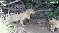 نبردهای پلنگ با شیر در حیات وحش (جدید)