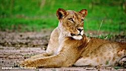 حیات وحش آفریقا - کیفیت خارق العاده 8K
