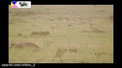 نبرد جانانه چیتا و گراز ماده