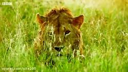 فیل از برادر کوچکش در برابر شیرها محافظت می کند