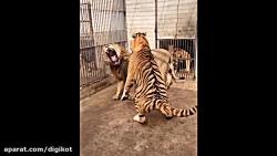 پیروزی چنگال های تیز ببر در نبرد با شیر نر
