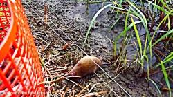 شکنجه موش های بیچاره با کابل برق در مزرعه برنج با کیفیت SUPER HD