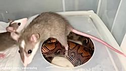انداختن خوشگل ترین موش ها جلوی وحشتناک ترین مار ها 100 با کیفیت FULL HD