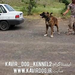 سگ خراسان بزرگ متعلق به مجموعه ی کویر