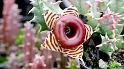 بزرگ ترین گل در تمام کره زمین - World's BIGGEST Flowers