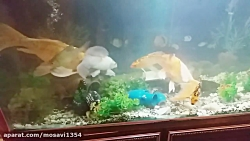 ماهی کوی سوپر باله بلند