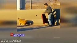 یک توله شیر به طرز عجیبی در آزادراه تهران، قزوین پیدا شد