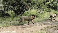 حمله شیر به هم نوع خود حیوانات زمانی که به حریم یکدیگر تجاوز کنند