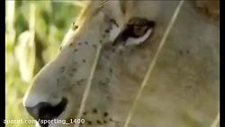 حیوانات وحشی در مقابل فیل مبارزه شیر