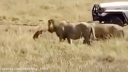هیونا شیر حمله مبارزه با شکار!