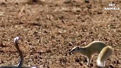 شگفت انگیز مار Python پادشاه کبرا بزرگ جنگ در کوه | حمله شگفت انگیز از حیوانات