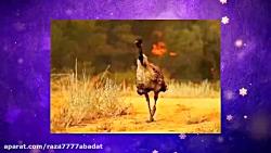 حیوانات استرالیا زیر اتش