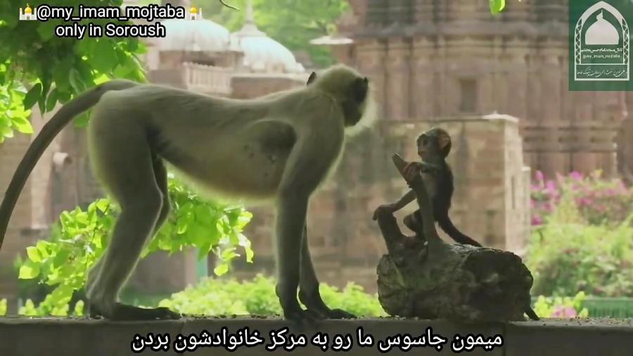 میمون لانگور هندوستان spy in the world