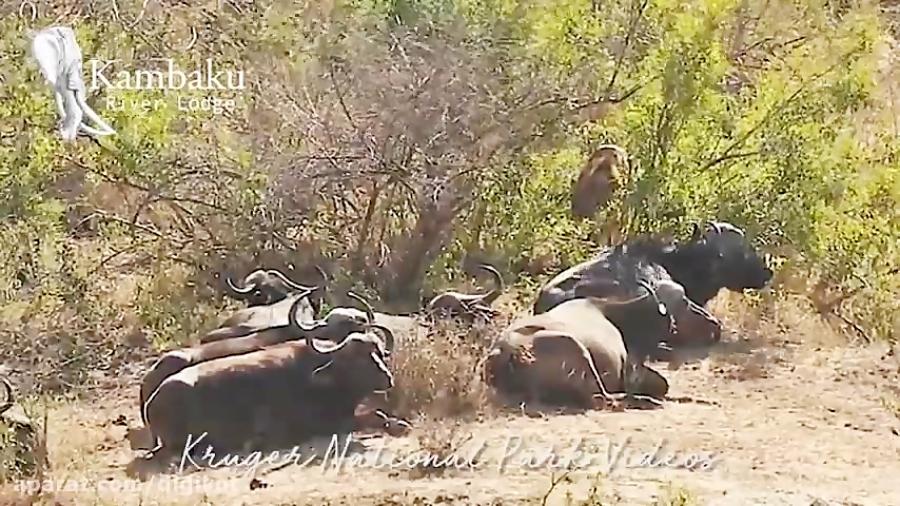 حیات وحش، کمین جالب شیر نر در چند متری گله بوفالو