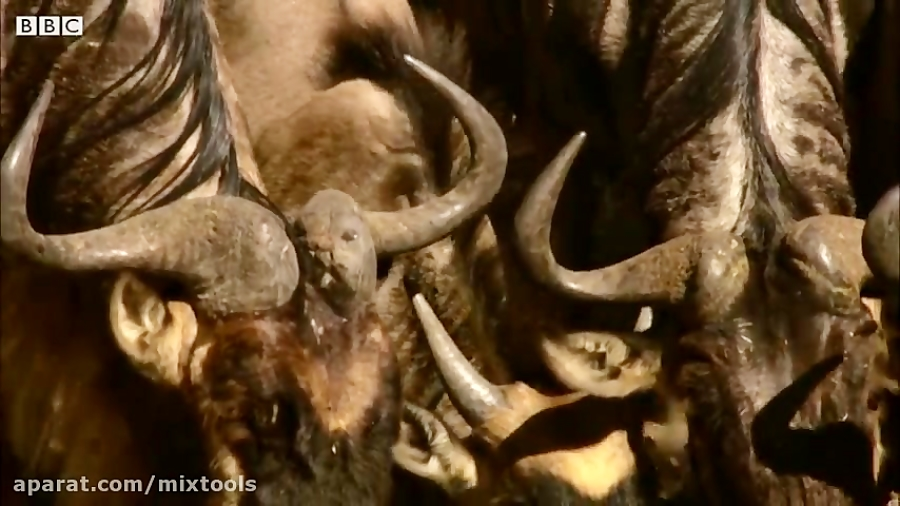حمله گله کروکودیل به یک گاو میش