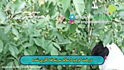 ایران گردو | باردهی گردو | پیوند گردو | سرشاخه کاری درخت گردو | پیوند درخت گردو