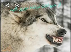 حیوانات (گرگ)