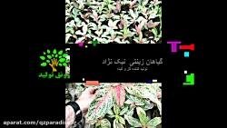 تولید کننده گیاهان آپارتمانی نیک نژاد