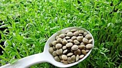 زمان مناسب برای کاشت سبزه عید نوروز