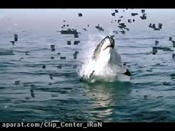 حمله بسیارسریع کوسه سفید عظیم جثه برای شکار فوک