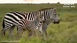 حیات وحش، مبارزه مرگ و زندگی گورخرها با شیر و چیتا