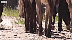 حمله شیرها به غزال بزرگ افریقا