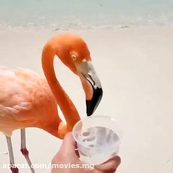 آب خوردن فلامینگو