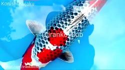 ماهی کوی کوجاکو فوق العاده از فارم کونیشی ژاپن @irankoiclub