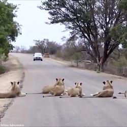 مستند شیر ها روی جاده