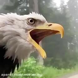 صدای عقاب رو شنیدید