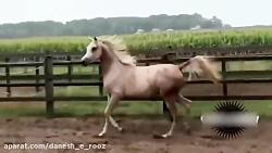 اسب عرب | نرینه