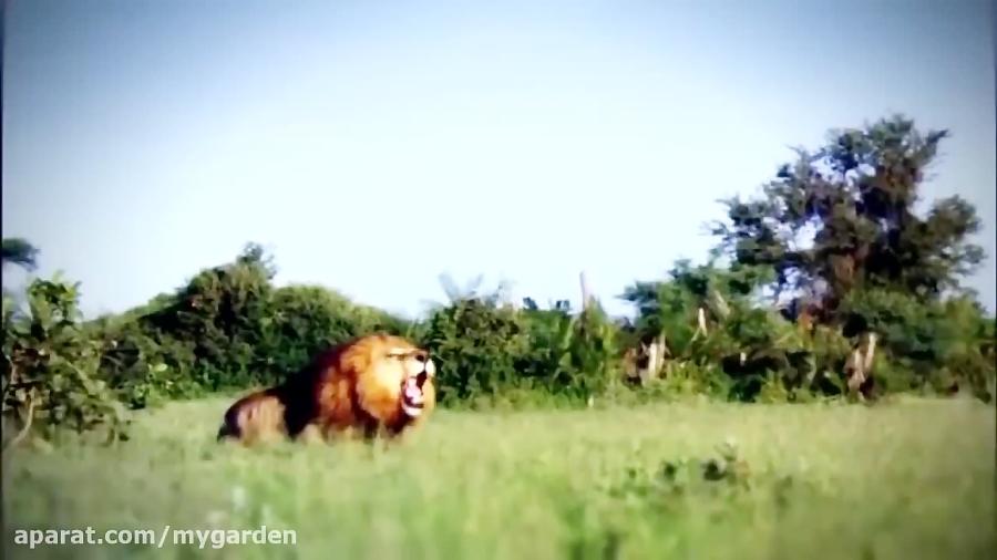 مستند حیات وحش | تلاش یوزپلنگ مادر برای نجات توله ها از حمله شیر