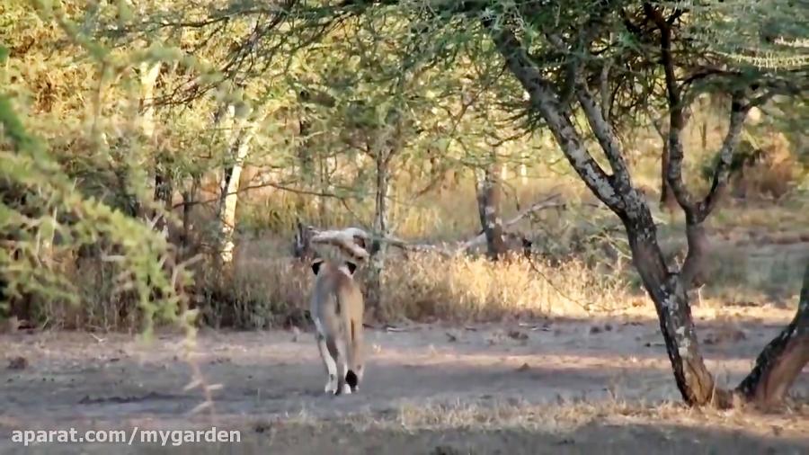 مستند حیات وحش | شکار زرافه توسط گله شیرهای ماده
