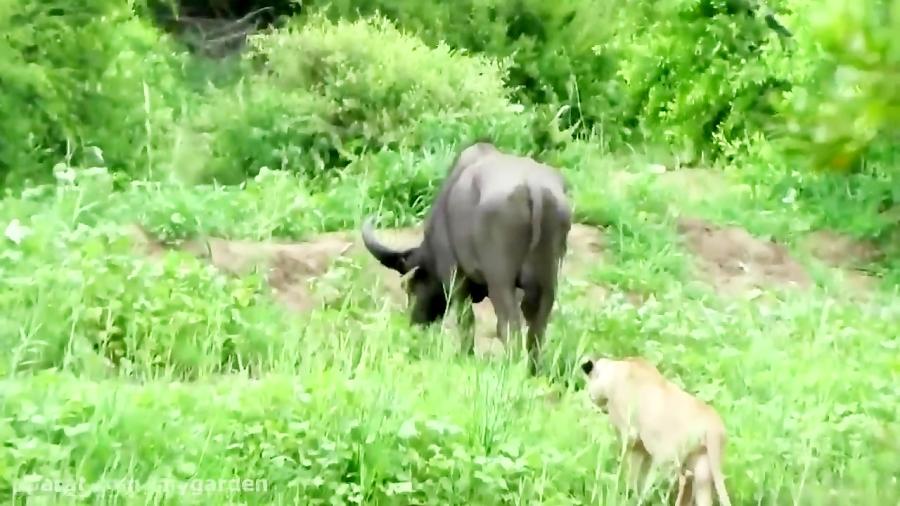 مستند حیات وحش | زنده خواری بوفالو توسط شیرهای گرسنه