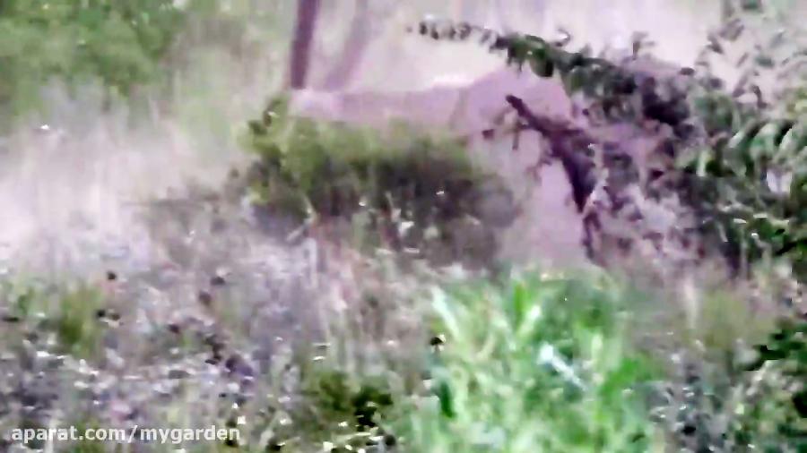 مستند حیات وحش | شکار وحشیانه بز کوهی توسط شیر ماده