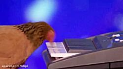 خروس در مسابقه گات تلنت!