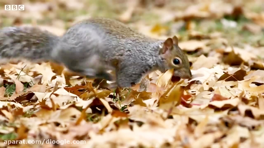 سرقت بلوط توسط سنجاب