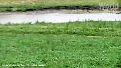 مستند حیات وحش.. شکار کردن شیر