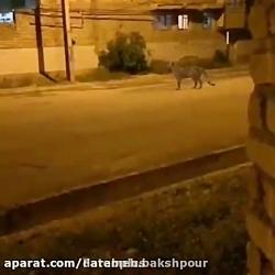 بعد از بارش بادمجان این دفعه حضور یوزپلنگ در شهر