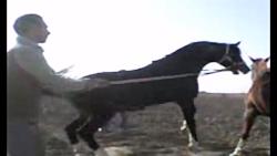 اسب سزار