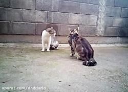 نبرد شدید و وحشیانه گربه خانگی با گربه سفید خیابانی