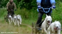 سگ هاسکی :الگو برداری از سیستم خنک کننده سگ قطبی در برابر پوشش و هوای گرم