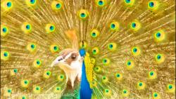 مستند زیباترین طاووس ه...