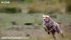 مستند حیات وحش شکارچیا...